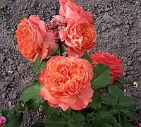 Роза Емильен Гийо. Чайно-гибридная роза.