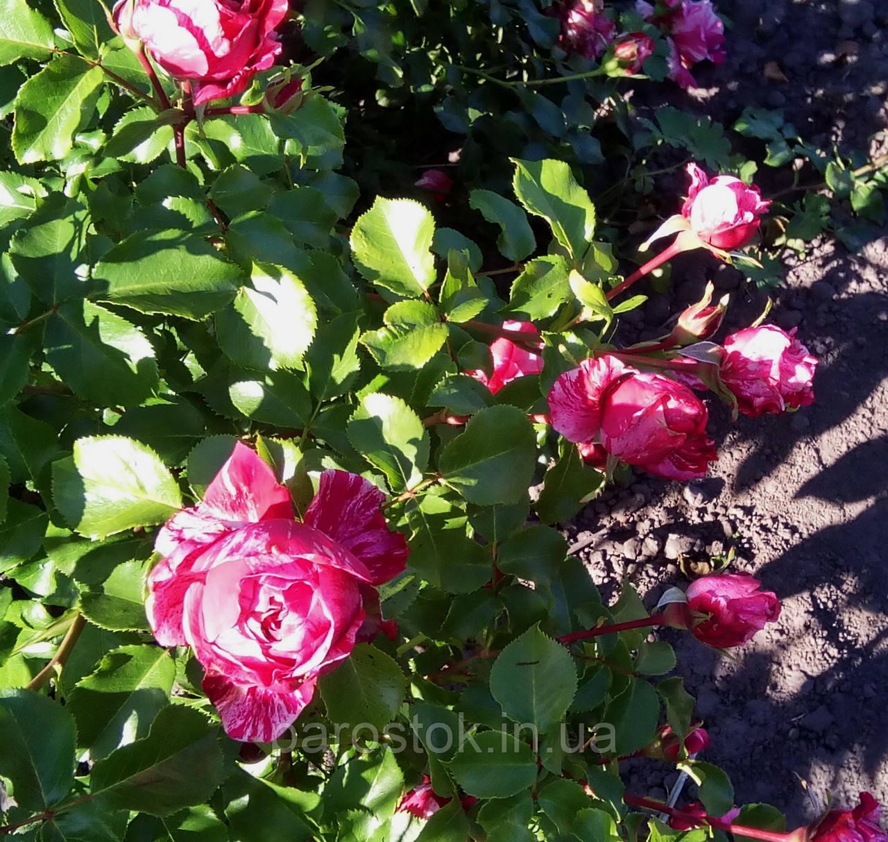 Роза Инес Састр. Плетистая роза.