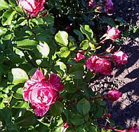 Роза Инес Састр. Плетистая роза