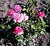 Роза Ив Пьяже. Чайно-гибридная роза.