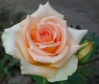 Роза Осиана (Osiana), фото 1