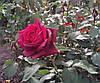 Роза Графиня Диана. Чайно-гибридная роза.