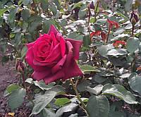 Роза Графиня Диана. Чайно-гибридная роза.  , фото 1