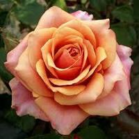 Роза Черри Бренди (Cherry Brandy), фото 1