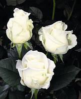 Роза Белуга (Beluga)