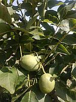 Скороплодный грецкий орех Якисный