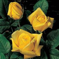 Роза Старлайт (Starlite)