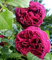 Фальстафф роза