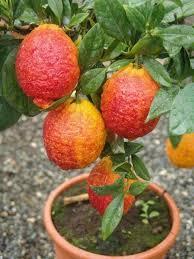 Лимон Россо (Red Lemon Rosso)  20-25 см. Комнатный