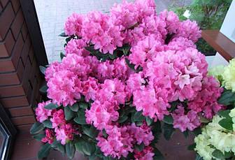 Рододендрон гібридний Krolowa Bona 2 річний Рододендрон гибридный Королева Бона, Rhododendron Krolowa Bona , фото 3