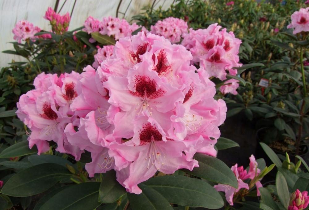 Рододендрон гібридний Krolowa Jadwiga 2 річний Рододендрон гибридный Королева Ядвига, Rhododendron
