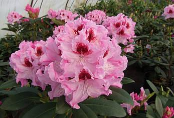 Рододендрон гібридний Krolowa Jadwiga 2 річний Рододендрон гибридный Королева Ядвига, Rhododendron , фото 2