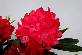 Рододендрон гібридний Wladyslaw Jagіello / Royal Red 2 річний, Рододендрон гибридный Владислав Ягелло/ Роял Ред, фото 3