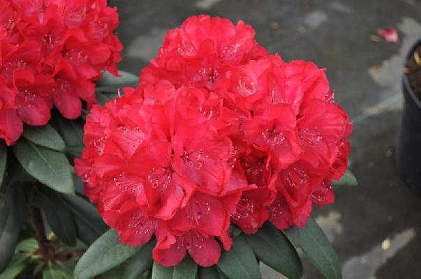 Рододендрон гібридний Wladyslaw Jagіello / Royal Red 2 річний, Рододендрон гибридный Владислав Ягелло/ Роял Ред
