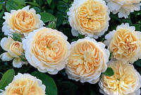 Роза Эммануэль