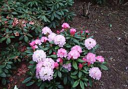 Рододендрон гібридний Wladyslaw Lokietek 2 річний Рододендрон гібридний Владислав Локетек, Rhododendron, фото 3