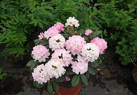 Рододендрон гібридний Wladyslaw Lokietek 2 річний Рододендрон гібридний Владислав Локетек, Rhododendron, фото 2