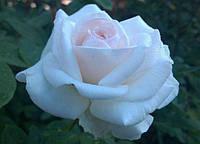 Нежная роза Шванензее