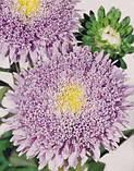 Айстра Принцеса Бенарі на зріз(колір на вибір) 1000 шт., фото 2