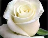 """Сорт """"Анастасия"""" (белая роза чайно-гибридная)"""