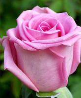 """Сорт розы""""Аква"""" (розовая чайно-гибридная)"""