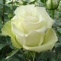 """Сорт розы""""Аваланж"""" (белая с салатовым оттенком, роза чайно-гибридная)"""