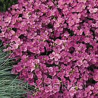 Арабіс Лотті діп роуз (темно-рож.)100 шт.