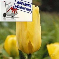 Луковичные растения Тюльпан Candella