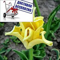 Луковичные растения Тюльпан Yellow Crown (волнистый)
