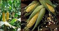 Семена кукурузы Залещицкий 191 СВ ФАО 190 (MAIS)