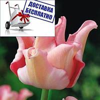 Луковичные растения Тюльпан Witty Picture (волнистый)