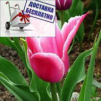 Луковичные растения Тюльпан Yonina (лилиевидний)