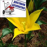 Луковичные растения Тюльпан Ballade Gold (лилиевидний), фото 1