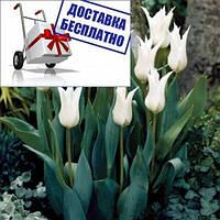 Луковичные растения Тюльпан Tres Chic (лилиевидний)