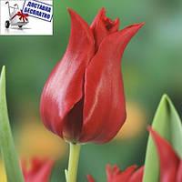 Луковичные растения Тюльпан Pretty Woman (лилиевидний)