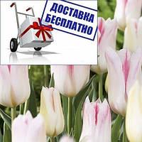 Луковичные растения Тюльпан Holland Chic (лилиевидний)