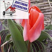 Луковичные растения Тюльпан Sweet Lady (кауф)