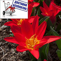 Луковичные растения Тюльпан Scarlet Baby  (кауф)