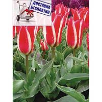 Луковичные растения Тюльпан Pinocchio  (грей)
