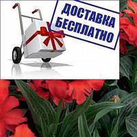 Луковичные растения Тюльпан Double Red Riding Hood (грей)