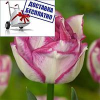 Луковичные растения Тюльпан Double Touch (махров)