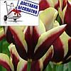 Луковичные растения Gavota (триумф)