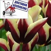 Луковичные растения Gavota (триумф), фото 1
