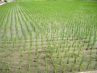 Химические удобрения и рис