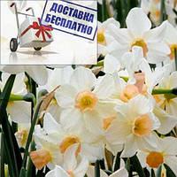 Луковичные растения Нарцисс миниатюрный Bell Song