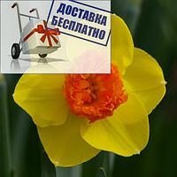 Луковичное растение Нарцисс корончатый с махровою короной Modern Art
