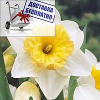 Луковичное растение Нарцисс корончатый Ice Follies