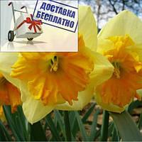 Луковичное растение Нарцисс сплит Mondragon
