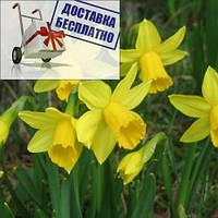 Луковичные растения Нарцисс миниатюрный Tete a Tete