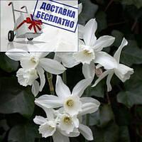 Луковичные растения Нарцисс миниатюрный Thalia
